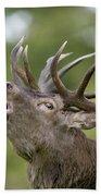 Red Deer Cervus Elaphus Stag Bugling Beach Towel