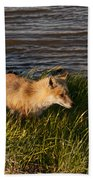 Red Fox Hunting The Edges At Sunset Beach Towel