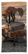 Red Foxes Vulpes Fulva Beach Towel