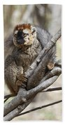 Red-fronted Lemur  Eulemur Rufifrons Beach Towel