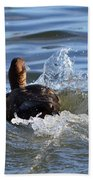 Red Head Duck Resurfaces With A Splash Beach Towel