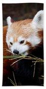 Red Panda  Ailurus Fulgens In Captivity Beach Towel