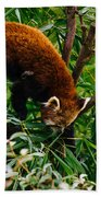 Red Panda Tree Climb Beach Towel