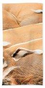 Red River Hogs Potamochoerus Porcus Beach Towel