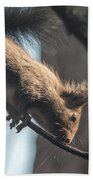 Red Squirrel Licking Dew Droplets  Beach Towel