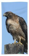 Red-tailed Hawk Monterey California  2008 Beach Towel