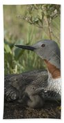 Red-throated Loon With Day Old Chicks Beach Towel