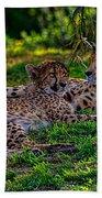 Resting Cheetahs Beach Towel