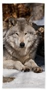 Resting Timber Wolf Beach Towel