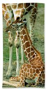Reticulated Giraffe And Calf Beach Towel