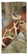 Reticulated Giraffe Feeding On Acacia Beach Towel