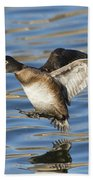 Ring-necked Duck Landing Beach Towel