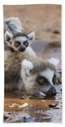 Ring-tailed Lemur Mother Drinking Beach Towel
