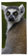 Ring-tailed Lemur Portrait Madagascar Beach Towel