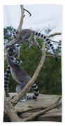 Ring Tailed Lemurs Playing Beach Towel