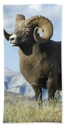 Rocky Mountain Big Horn Sheep Beach Towel by Bob Christopher
