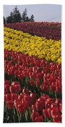 Rows Of Multicolored Tulips In Field Mount Vernon Washington Sta Beach Towel