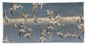Sanderlings And Dunlins In Flight Beach Towel