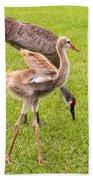 Sandhill Cranes Walking Around Beach Towel