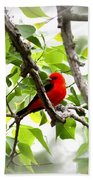 Scarlet Tanager - 11 Beach Towel
