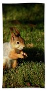Sciurus Vulgaris In Evening Light Beach Towel