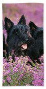 Scottish Terrier Dogs Beach Towel