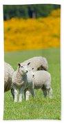 Sheep Grazing Beach Towel