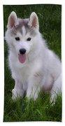 Siberian Huskie Pup Beach Towel