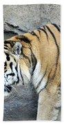 Siberian Tiger Panthera Tigris Altaica Usa Beach Towel