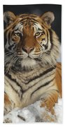 Siberian Tiger Portrait In Snow China Beach Towel