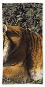 Siberian Tiger Stalking Endangered Species Wildlife Rescue Beach Towel