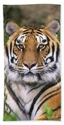 Siberian Tiger Staring Endangered Species Wildlife Rescue Beach Towel