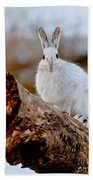Snowshoe Hare Pictures 131 Beach Towel