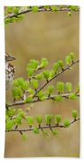 Song Sparrow Pictures 111 Beach Towel