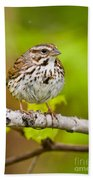 Song Sparrow Pictures 132 Beach Towel