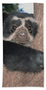 Spectacled Bear In Andean Foothills Peru Beach Towel