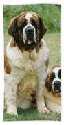 St Bernard With Puppy Beach Towel