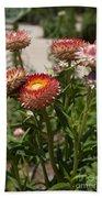Straw Flowers Xerochrysum Bracteatum Beach Towel