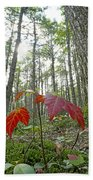 Sugar Maple In Old-growth Canadian Beach Towel
