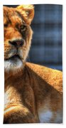 Sunbathing Lioness  Beach Towel