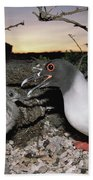 Swallow-tailed Gull And Chick In Pebble Beach Towel by Tui De Roy
