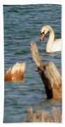 Swan Amid Stumps Beach Towel