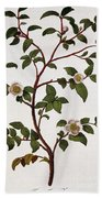 Tea Branch Of Camellia Sinensis Beach Towel