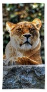 The Pondering Lioness Beach Towel
