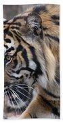 Sumatran Tiger-5418 Beach Towel