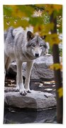 Timber Wolf On Rock Beach Towel