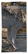 Timber Wolf Pictures 1101 Beach Towel