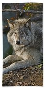 Timber Wolf Pictures 1148 Beach Towel