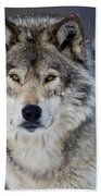 Timber Wolf Pictures 1271 Beach Towel