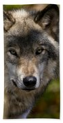 Timber Wolf Pictures 1365 Beach Towel